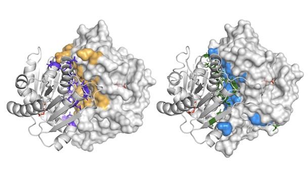 Mycobacterial Glutamate Racemase C Kurt Krause