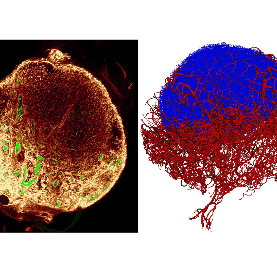 New imaging improves our understanding of the immune system