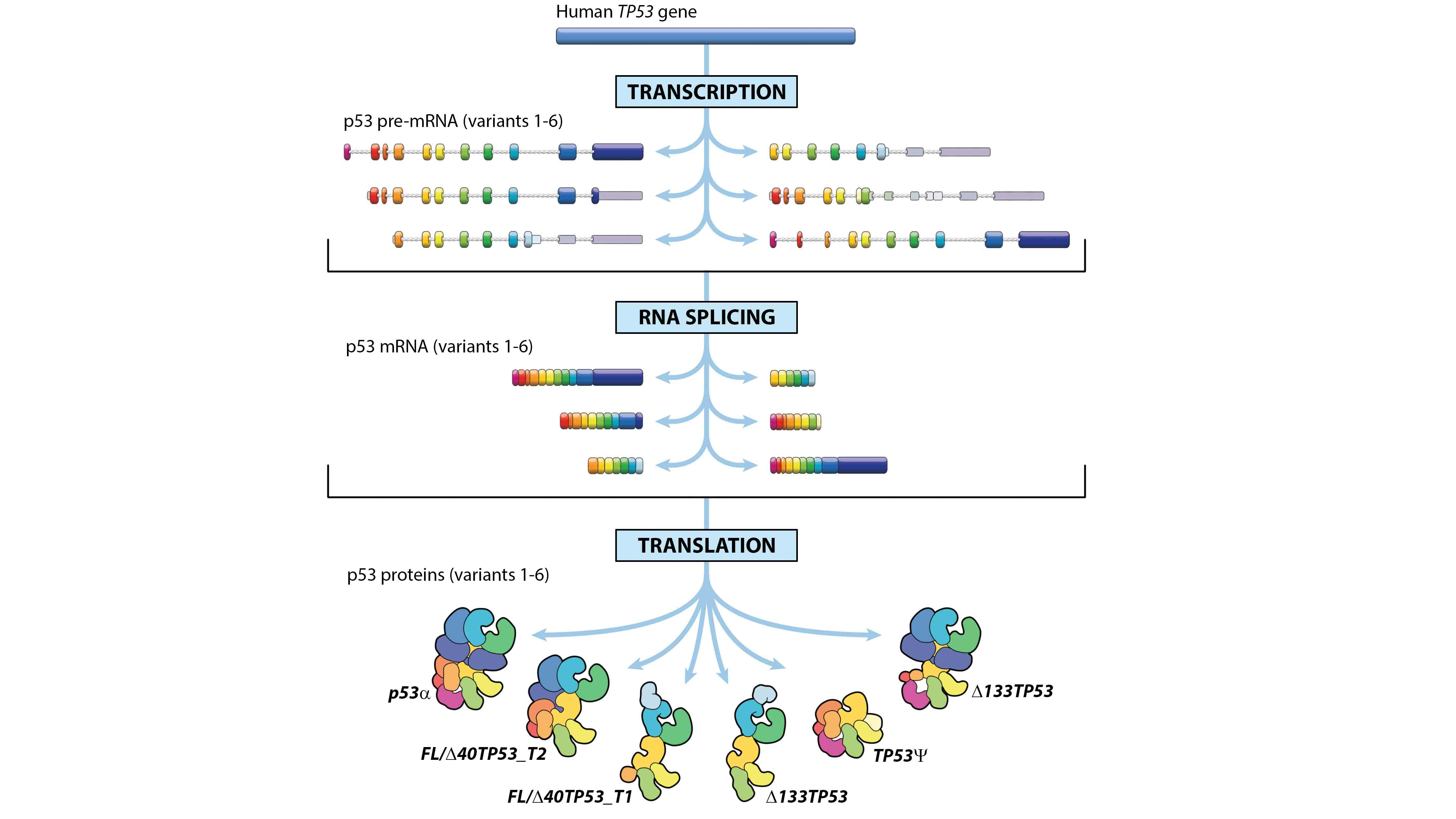 One cancer gene – but several different proteins